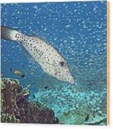 Scribbled Filefish Wood Print