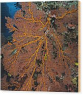 Sea Fan, Fiji Wood Print