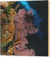 Sea Fans And Crinoid, Fiji Wood Print
