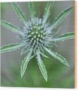 Sea Holly (eryngium Alpinum 'amethyst') Wood Print