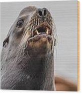 Sea Lion And Yellow Fangs Wood Print