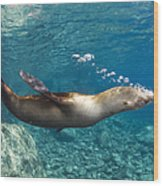Sea Lion Blowing Bubbles, Los Islotes Wood Print