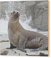 Sea Lion Monterey Wood Print