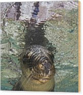 Sea Lion Portrait, Los Islotes, La Paz Wood Print by Todd Winner
