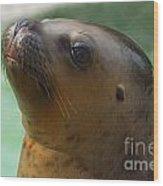 Sea Lion Up Close. Wood Print