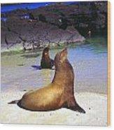 Sea Lions On Genovesa Island Wood Print