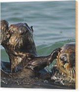 Sea Otter Enhydra Lutris Bachelor Male Wood Print