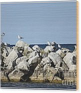 Seaguls On Boulders In Lake Erie Wood Print
