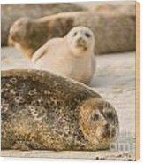 Seal 3 Wood Print
