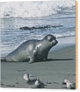 Seal And Seagulls At Piedras Blancas Beach Wood Print
