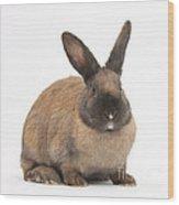 Seal-point Rabbit Wood Print