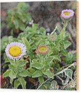 Seaside Fleabane Flowers Wood Print