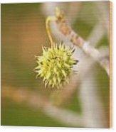 Seed Pod On Sycamore Tree Wood Print