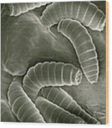 Sem Of Maggots Of The Green Blow Fly Wood Print