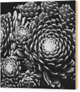 Sempervivum Wood Print