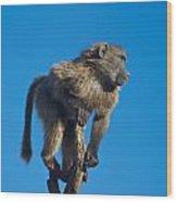 Sentry Baboon Namibia Wood Print