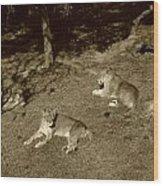 Sepia Lionesses Wood Print