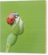 Seven Spot Ladybird   At Bud Of Wild Rose Franconia, Bavaria, Germany Wood Print