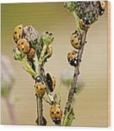 Seven-spot Ladybirds Eating Aphids Wood Print