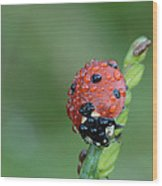 Seven-spotted Lady Beetle On Grass With Dew Wood Print