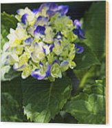 Shadowy Purple And White Emerging Hydrangea Wood Print