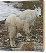 Shedding Mountain Goat Wood Print