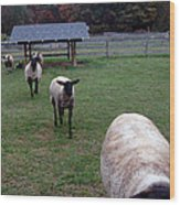 Sheep Feed Time Wood Print