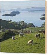 Sheep Grazing By Lough Corrib Cong Wood Print