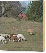 Sheep Grazing Wood Print
