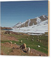 Sheep In The Atlas Mountains 02 Wood Print