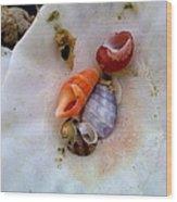 Shells In A Shell Wood Print