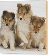 Sheltie Puppies Wood Print by Jane Burton