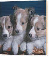 Sheltie Puppies Wood Print by Photo Researchers, Inc.