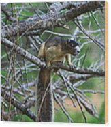 Shermans Fox Squirrel Wood Print
