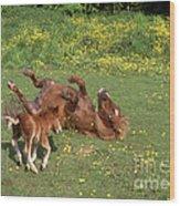 Shetland Pony And Foal Playing Wood Print