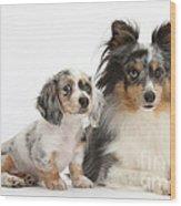 Shetland Sheepdog And Dachshund Puppy Wood Print