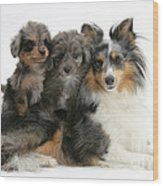 Shetland Sheepdog With Puppies Wood Print
