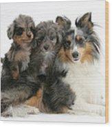 Shetland Sheepdog With Puppies Wood Print