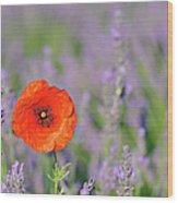 Shirley Poppy In English Lavender Field, Valensole, Valensole Plateau, Alpes-de-haute-provence, Provence-alpes-cote D Azur, Provence, France Wood Print