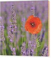 Shirley Poppy In English Lavender, Valensole, Valensole Plateau, Alpes-de-haute-provence, Provence-alpes-cote D Azur, Provence, France Wood Print