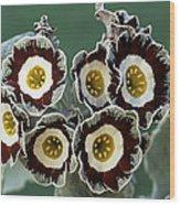 Show Auricula 'queen Bee' Flowers Wood Print