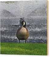 Showering Canadian Goose Wood Print