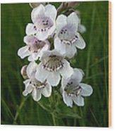 Showy Beardtongue Flower Wood Print