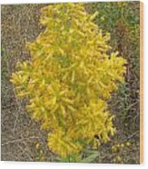 Showy Goldenrod Flower Wood Print