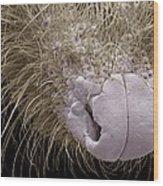 Shrew Nose, Sem Wood Print