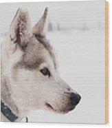 Siberian Husky With Snow Wood Print