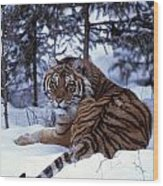 Siberian Tiger Lying On Mound Of Snow Wood Print