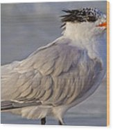 Siesta Key Royal Tern Wood Print