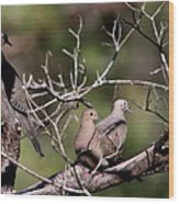 Siesta Time - Mourning Dove Wood Print