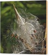 Silky Milkweed Wood Print